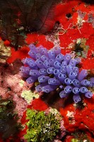 Blue Bell Tunicate5